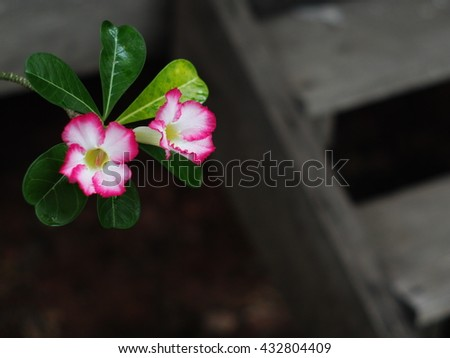 group of pretty beautiful Desert Rose, Impala Lily, Mock Azalea, beauty flowers in white and pink in THAILAND with wooden cottage stairs blur in background - stock photo