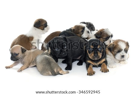 group of puppies in front of white background - stock photo