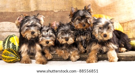 group of puppies of breed Yorkshire Terrier - stock photo