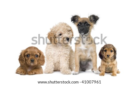Group of puppy dogs in front of white background, studio shot - stock photo