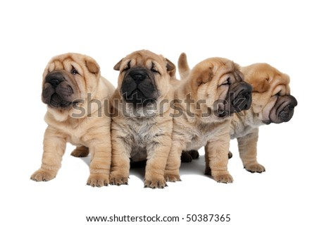 group of purebred beige sharpei puppy dogs isolated