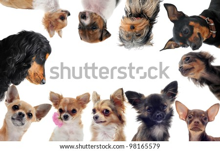 group of purebred little dogs in front of white background - stock photo