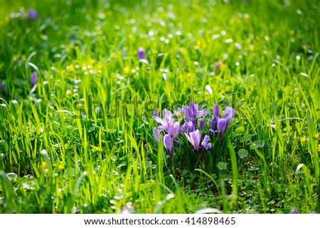 Group of Purple crocus (crocus sativus) with selective/soft focus and diffused background in early spring,
