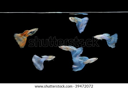 group of red and blue guppies swimming in clean water. - stock photo
