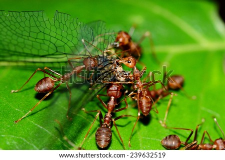 Group of red ants & prey - stock photo