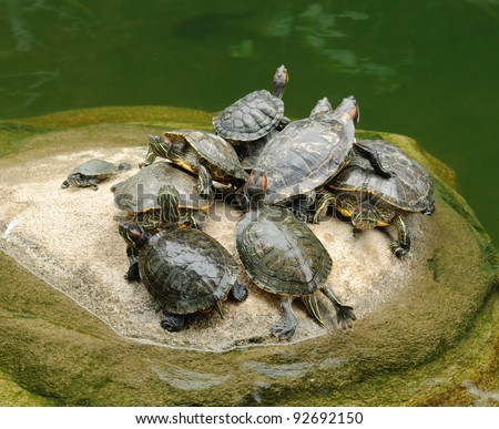 Group of red-eared slider (Trachemys scripta elegans) in pool - stock photo