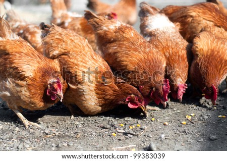 group of red, farm chickens eating corn in the countryside - stock photo