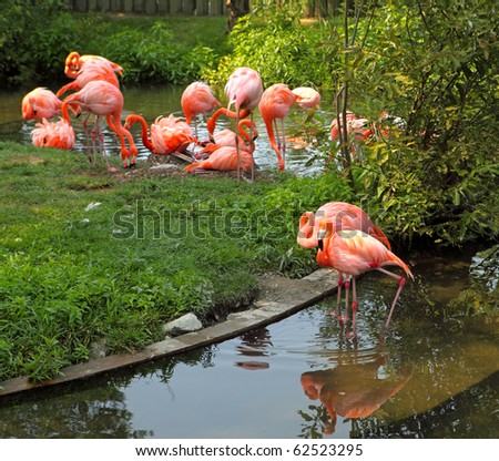 Group of red flamingo reflecting on the pond