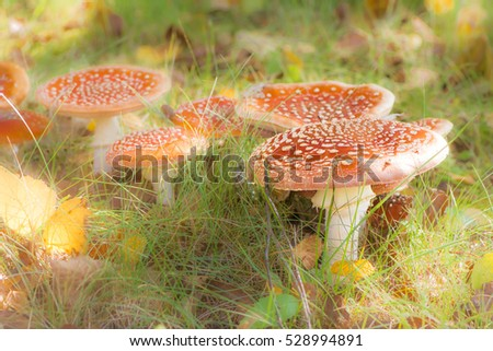 Group of red fly agaric musrooms in the forest