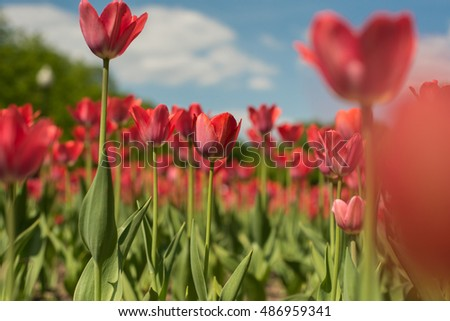 Group of red tulips flower in the park. Spring blurred background.