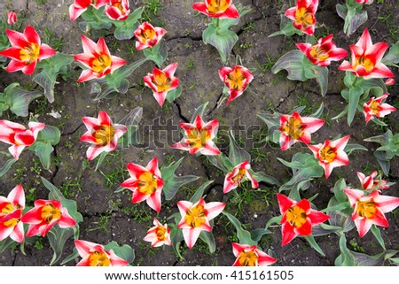 Group of red tulips in a garden - stock photo