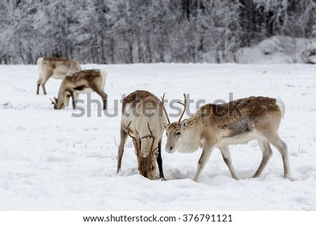 Group of reindeer grazing in a snow covered field. - stock photo