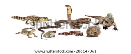 Group of reptiles - asian water monitor, baby crocodile, desert toad, cobra, gila monster, box turtle and Grand Cayman Blue Iguana. Image sized to fit a popular social media header placeholder - stock photo