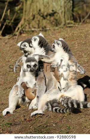 Group of ring-tailed lemur mothers with baby animals - stock photo