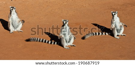 Group of Ring Tailed Lemurs in the Morning Sun
