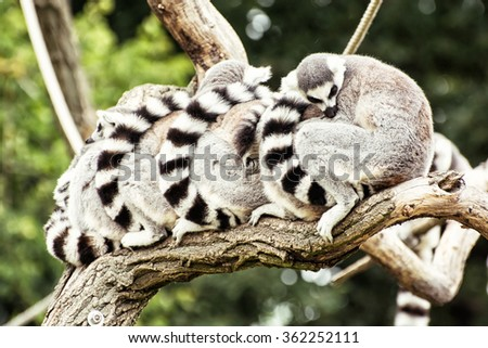 Group of Ring-tailed lemurs (Lemur catta) resting on the tree branch. Humorous animal theme. - stock photo