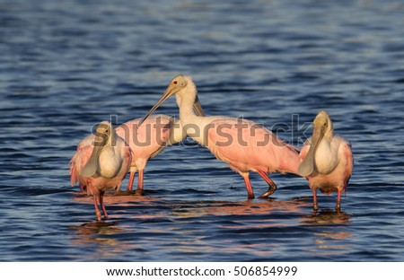 Group of Roseate spoonbills (Platalea ajaja) feeding in the shallow water of tidal marsh at early morning, Galveston, Texas, USA