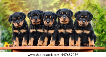 group of rottweiler puppies posing outdoors