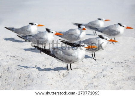 Group of royal terns sea birds stand on sandy Siesta Key beach in Florida - stock photo