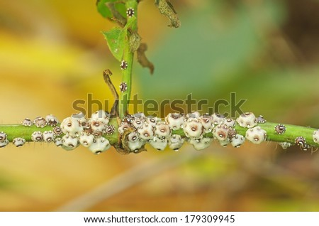group of scale insect on the tropical plant - stock photo