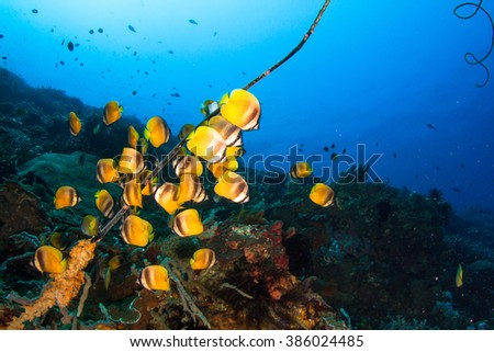 Group of schooling butterfly fishes next to the wire coral in deep water. Healthy reef of Nusa Penida, Indonesia. - stock photo