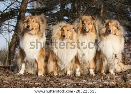 Group of scotch collies sitting together in the forest - stock photo
