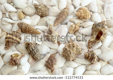 group of sea shells on white mussels - stock photo