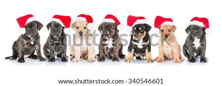 Group of seven american staffordshire terrier puppies dressed in the christmas hats - stock photo
