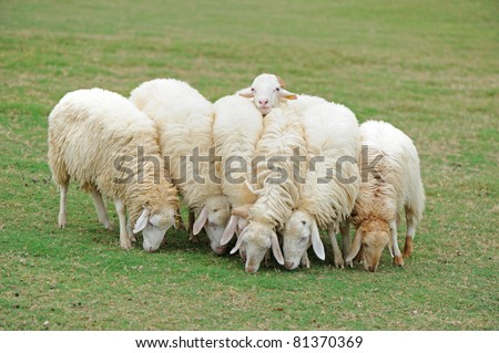 Group of sheep eating grass - stock photo