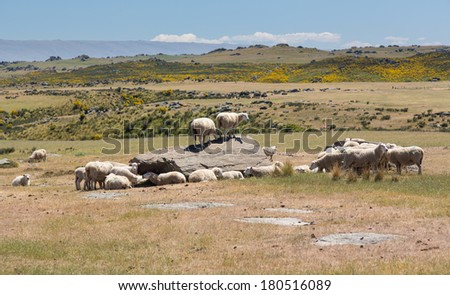 Group of sheep grazing around and standing on rock outcrops in the highlands of the South Island of New Zealand - stock photo