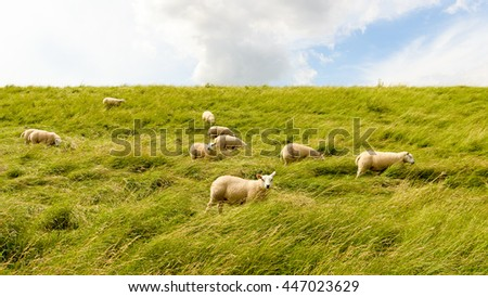 Group of sheep grazing in the tall grass on the slope of a Dutch dike. One sheep looks curiously at the photographer. - stock photo