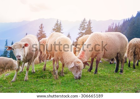 Group of sheep grazing on the pasture - stock photo
