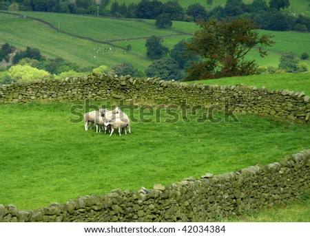 Group of sheep in Yorkshire dales landscape - stock photo