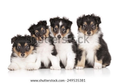 Group of Shetland Sheepdog puppies on a white background - stock photo