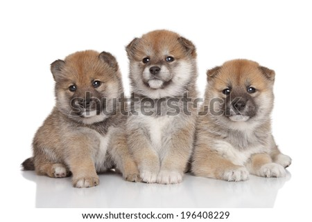 Group of Shiba inu puppies. Portrait on a white background