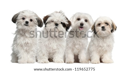Group of Shih Tzu and Maltese puppy sitting and looking at camera against white background - stock photo