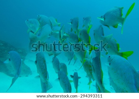 Group of Shoal of Schoolmasters seen while diving in the Pacific Ocean, Galapagos, Ecuador 2015. - stock photo