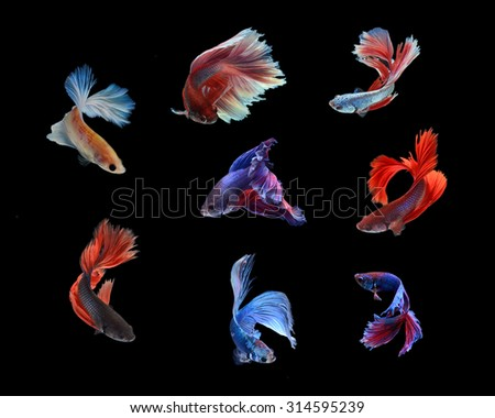 Group of Siamese fighting fish, Beta fish on black background - stock photo