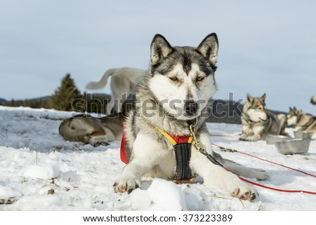 Group of Siberian husky in winter lying on the snowy ground