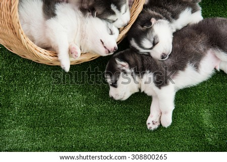 Group of siberian husky puppies sleeping on green grass