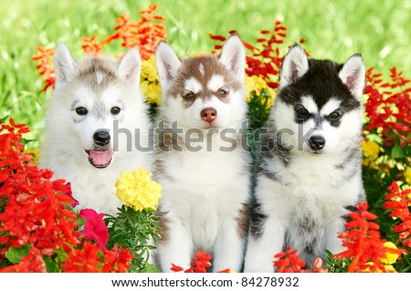 group of Siberian husky puppy dogs one month old on green grass - stock photo