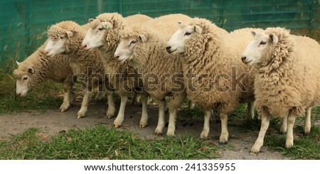 Group of six sheep standing in a line looking to the left.