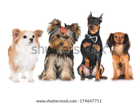 group of small dogs - stock photo