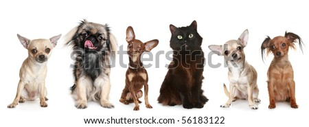 Group of small dogs and one cat, isolated on a white background - stock photo