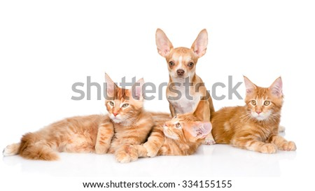 Group of small ginger maine coon cats with tiny chihuahua puppy. isolated on white background - stock photo