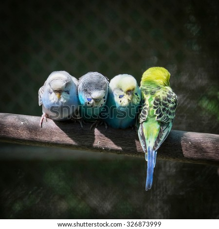 Group of small parakeets - stock photo