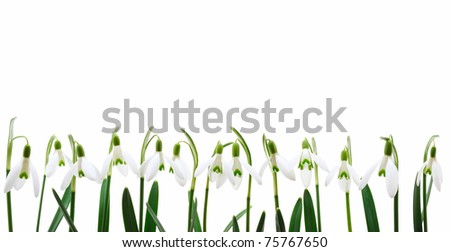 Group of snowdrop flowers  growing in row,  isolated on white background - stock photo