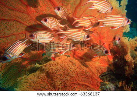 Group of squirrel fish under sea fan - stock photo