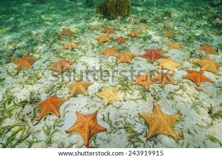 Group of starfish, Cushion sea star, Oreaster reticulatus, underwater on the seabed, Caribbean - stock photo