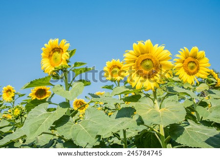 Group of sun flower at farm with clear blue sky